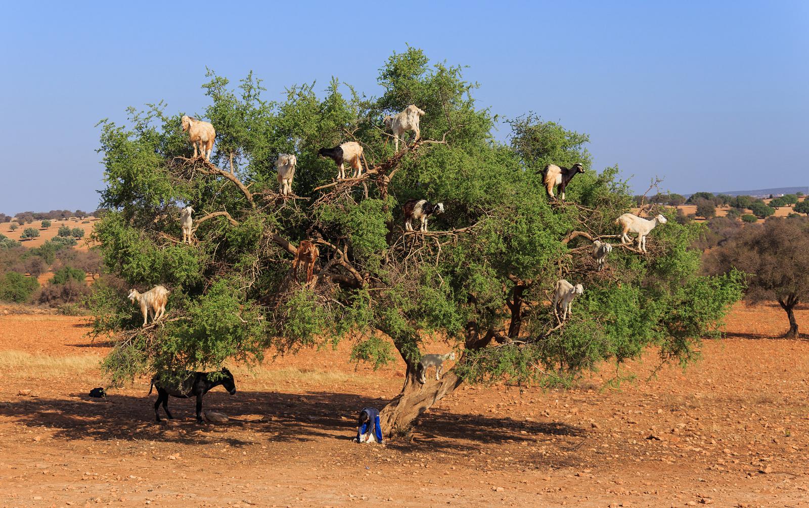 Plantatie de argan