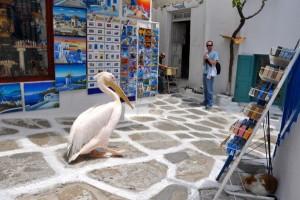 mykonos-pelicans